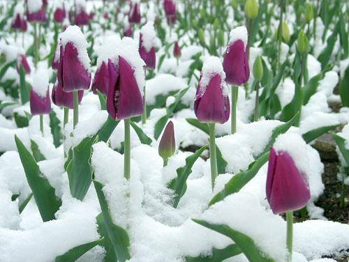 Beautifull Tulips In The Snow Austin Bluffs Dental